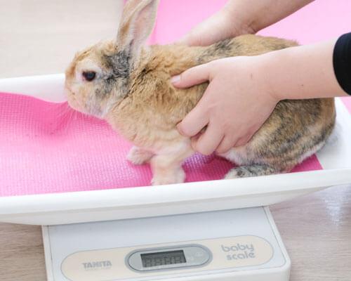 体重をはかるウサギ